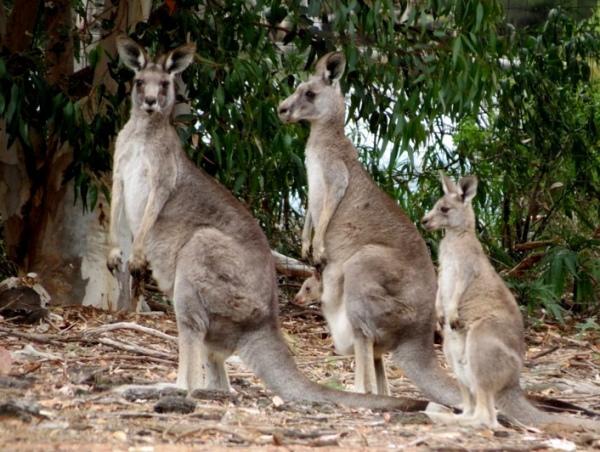 Австралія - країна унікальних тварин [draft]